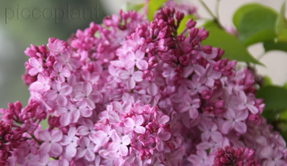 Syringa hyacinthiflora 'Esther Staley'