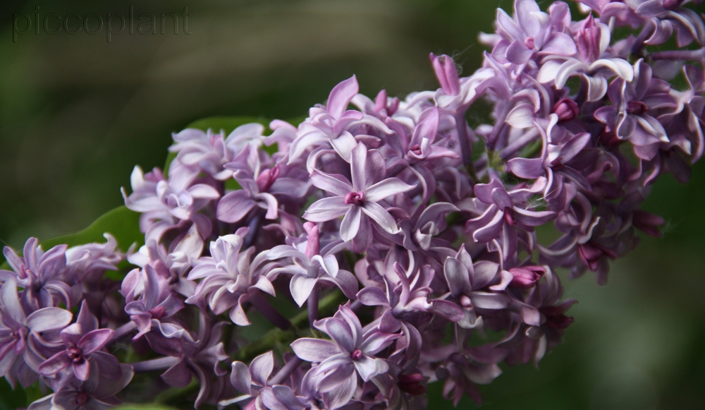 Syringa hyacinthiflora 'Royal Purple'
