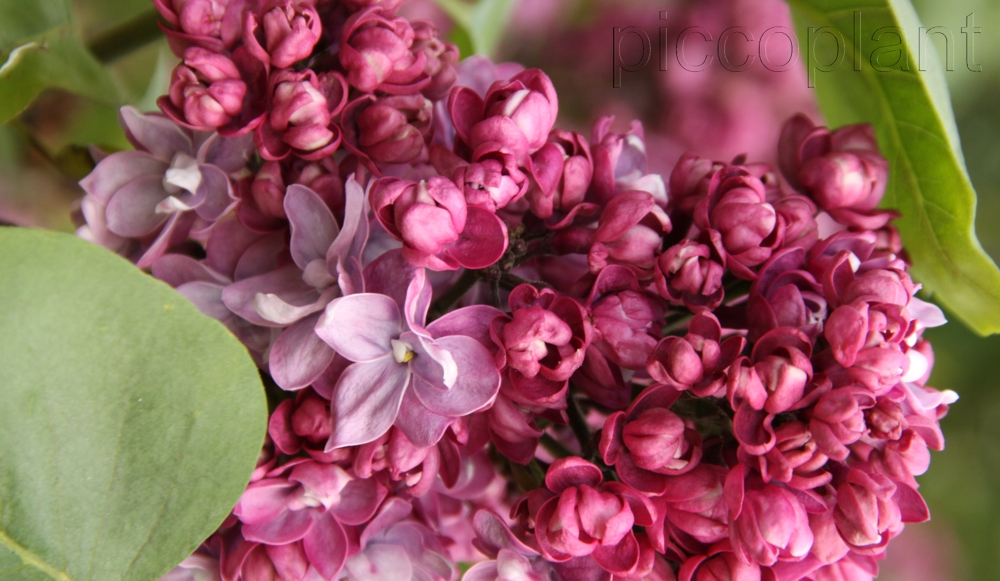 Syringa vulgaris 'Paul Thirion'