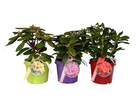 MarketingRhododendren-in-C2